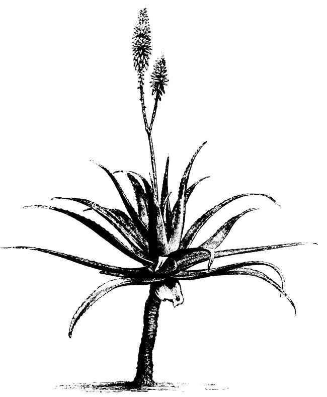 Aloe Vera Clip Art Image