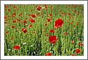 poppies_french_battlefield_gorze.jpg